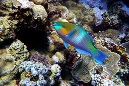 Rusty_Parrotfish-DMS