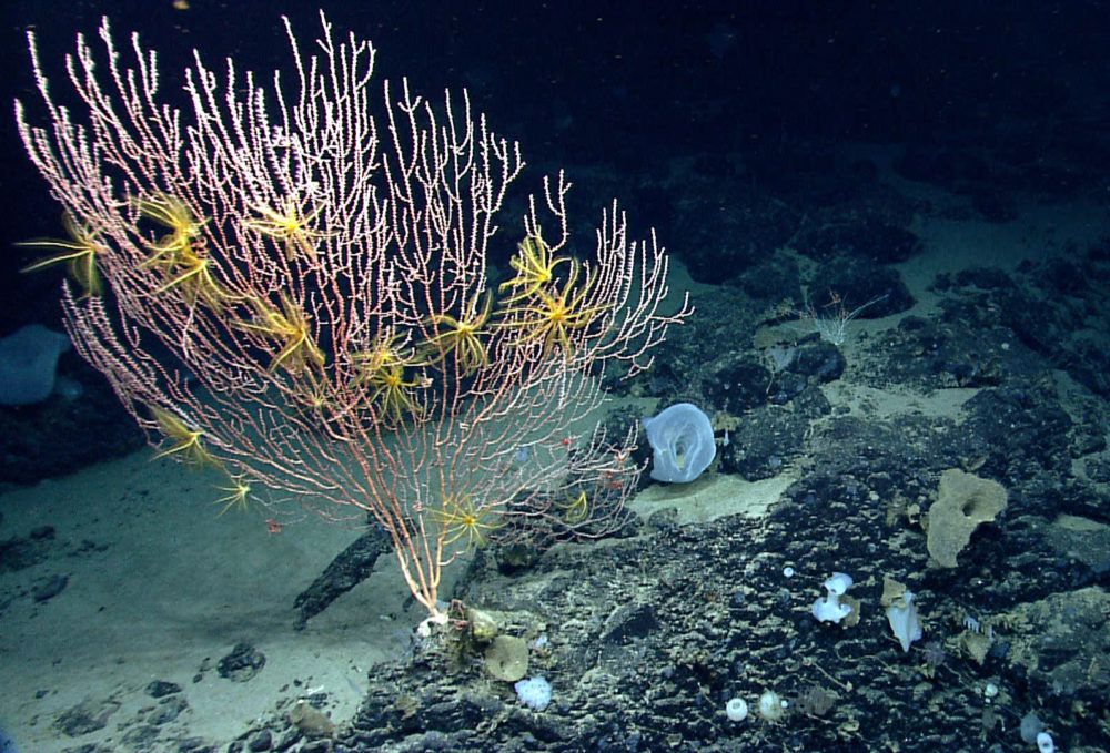 Corals were also diverse, but composition and abundance of corals differed between the north and south side of the seamount. We observed this colony of Jasonisis, a bamboo coral, with numerous crinoid associates. Credit: NOAA Oceans Explorer Program, 2013 Northeast US Canyons Expedition Science Team